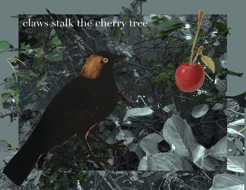 photoshop collage of blackbird and cherry with a backdrop of a stripped tree, caption 'claws stalk the cherry tree'